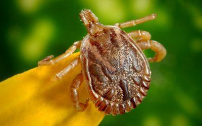 Parazitakérdés. 9+1 tévhit, és mégannyi tény a kullancsokról.