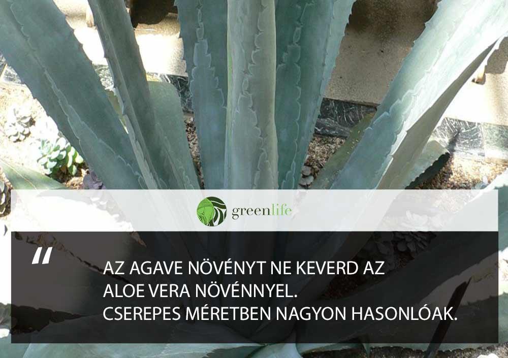 agavé-mergezo-dísznövények