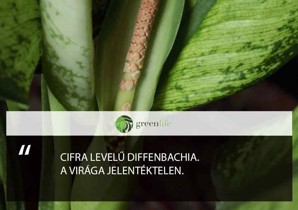 diffenbachia-mergezo-dísznövények