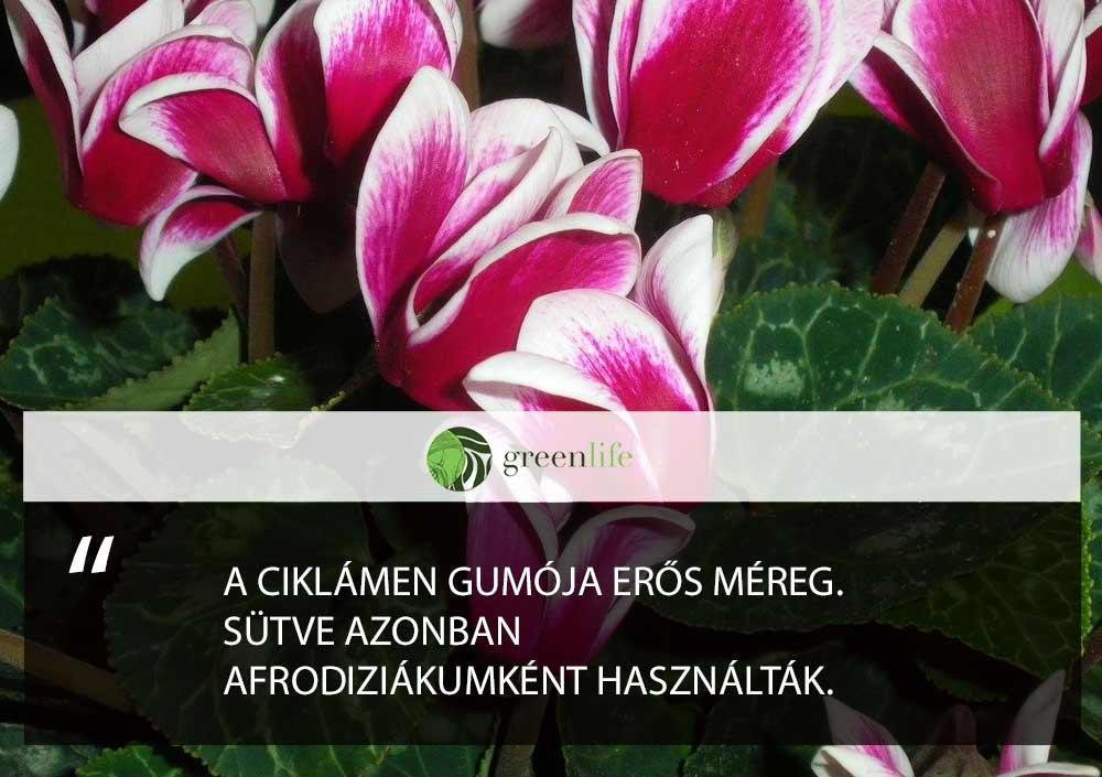 mergezo-dísznövények-Ciklámen
