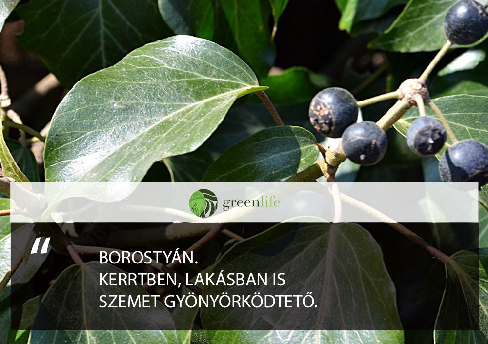 mergezo-növények-Borostyán-termessel