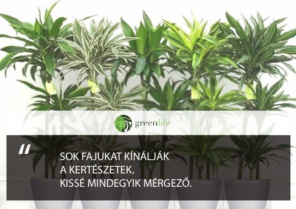 sarkanyfa-mergezo-dísznövények